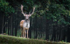 Hirsch beobachten mit dem Jagdfernglas